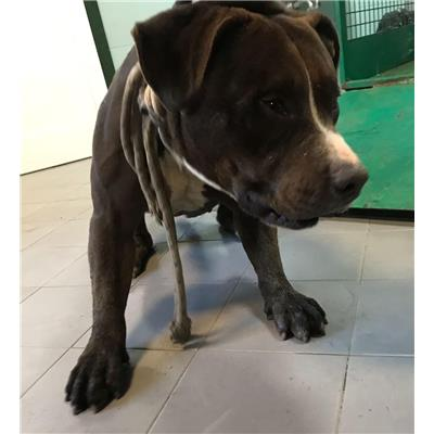 ASL Veterinaria RM D<br />cane - Pit Bull<br />380260043854245