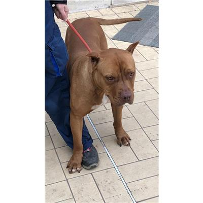 ASL Veterinaria RM D<br />cane - Pit Bull<br />380260002115942