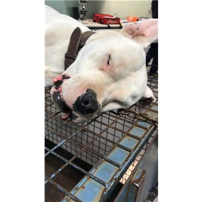 ASL Veterinaria RM D<br />cane - Dogo Argentino<br />380260080297786